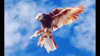И пусть теперь кто то скажет что Узбекские Голуби это декоративная птица