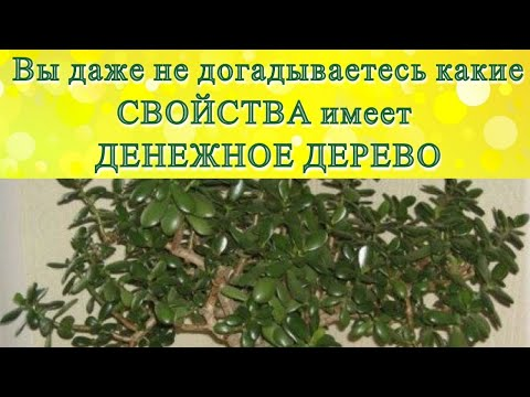 ДЕНЕЖНО ДЕРЕВО (ТОЛСТЯНКА) имеет не только МАГИЧЕСКИЕ свойства, но и ЛЕЧЕБНЫЕ#DomSovetov
