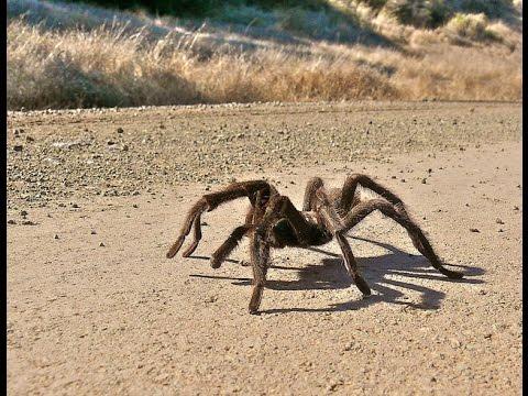 dünyanın en büyük 10 örümcek türü  hayvan videosu