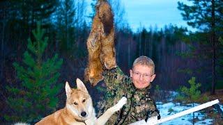 Охота на соболя с лайкой, СОБОЛЬ трейлер