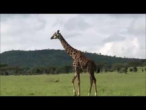 Godwin of Maasai Wanderings, Giraffe in Serengeti Dec 2015