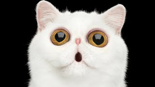 5 Cat Breeds With Big Eyes (That Put Manga Faces To Shame) | Ultimate Pet Nutrition