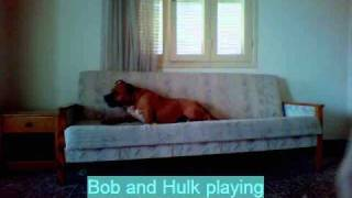 Dogo Argentino With Staffordshire Bullterrier