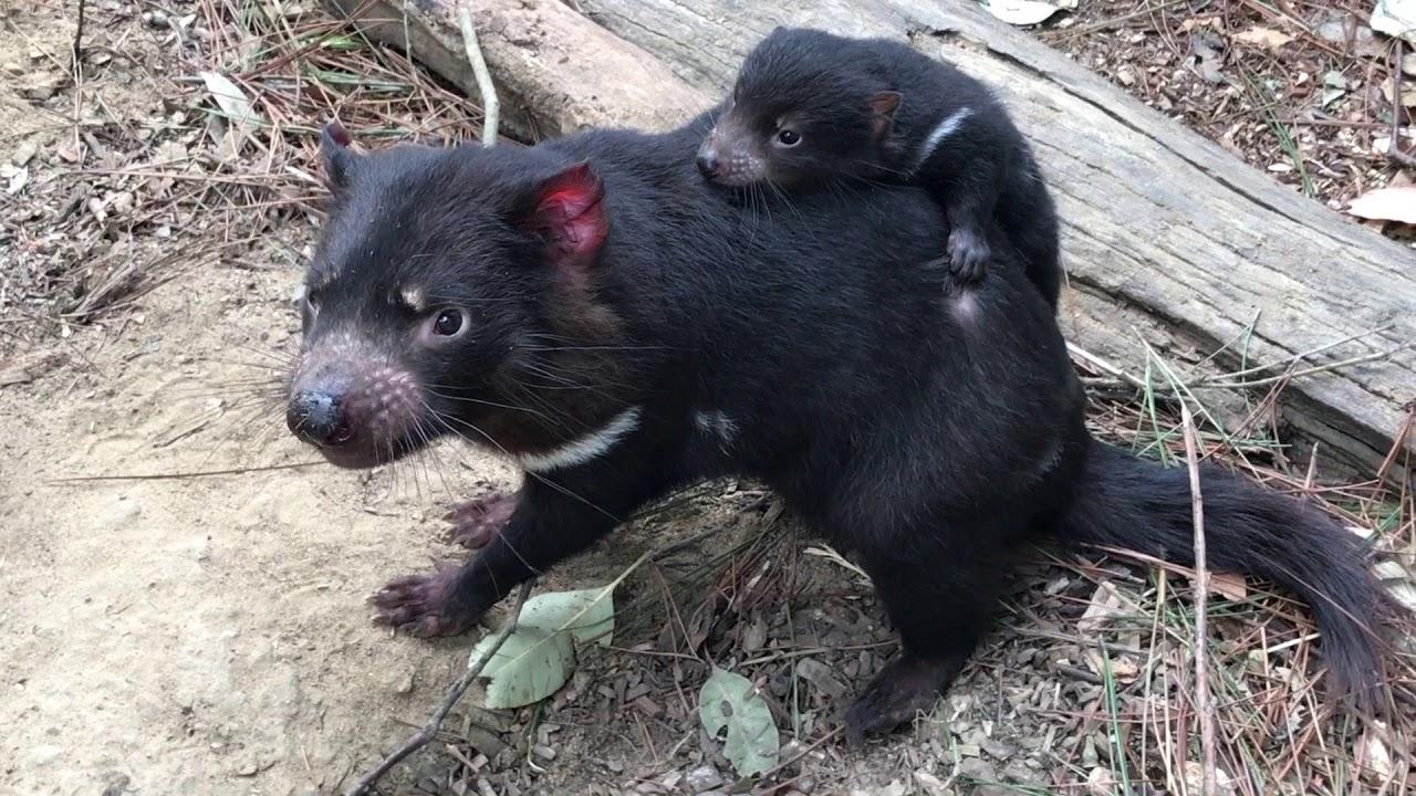 Baby tasmanian devil joey gets a piggyback youtube - Tasmanian devil pics ...