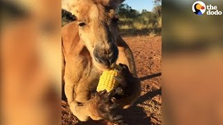 Kangaroo Eats Corn | The Dodo