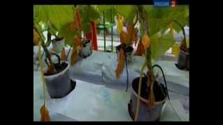 Выращивание овощей в современных теплицах(Отрывок из передачи