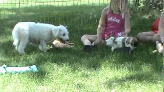 Cavachon Dog Breeder New Litter Puppies For Sale In Iowa.mpg