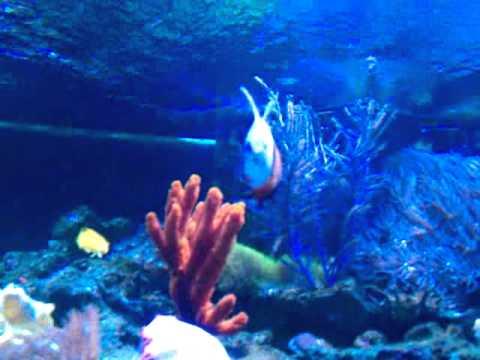 Rickysreef Lyretail Hogfish Blowing Sand