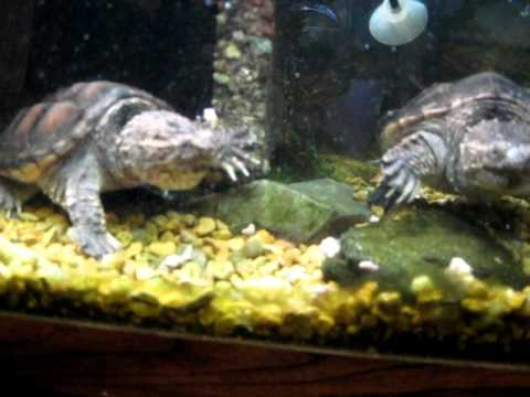 common snapping turtle tank male and female   youtube