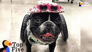 Paralyzed French Bulldog Is Still A Big Goofball + Animals With The BEST Parents | The Dodo Top 5