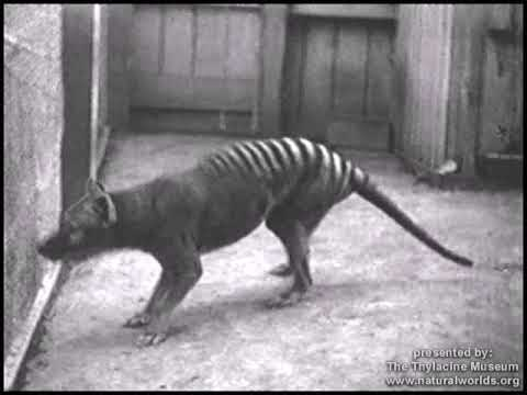 Historical thylacine (Tasmanian Tiger) film 4 - Beaumaris Zoo (Hobart), 1933