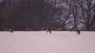 Sarny zimą