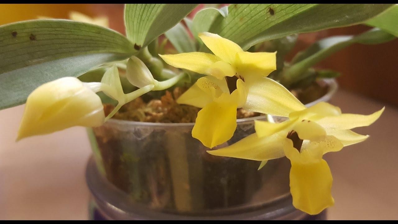 Орхидея променея уход