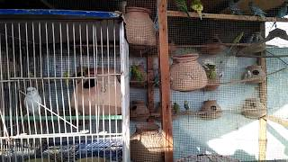 BUDGIES AND FISHER PARROTS SETUP OVERVIEW | MIX SEED GUIDELINE IN URDU