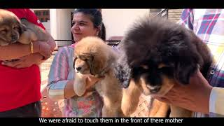 India's Best Tibetan Mastiffs Dog Kennel   Tsewang Tibetan Mastiff Kennel   Scoobers