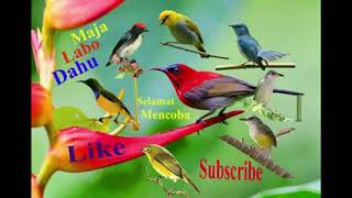 Suara pikat semua burung kecil dijamin dapat
