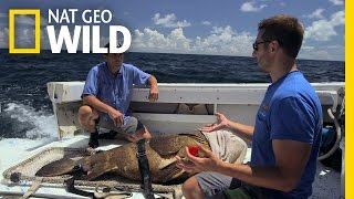 A Look at the Giant Grouper   Monster Fish