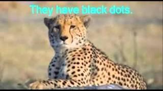 Shayna: Cheetah Thumbnail