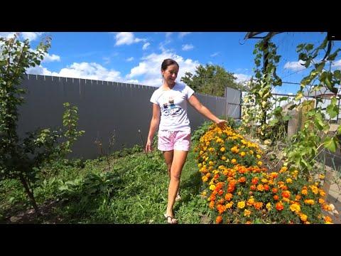 БАРХАТЦЫ, цветы для ленивых садоводов.