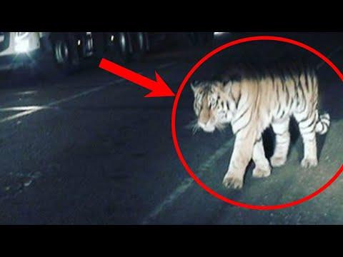 Тигрица перекрыла трассу, умоляя людей помочь ей. Ее тигренок был в плену!