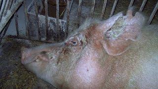 Чесотка свиней. Scabies pigs.