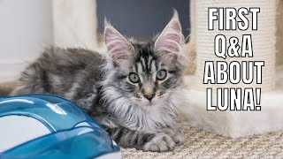 First Q&A About Our Maine Coon Kitten Luna!