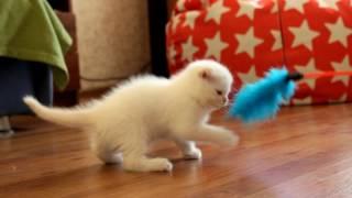 Голубоглазый котёнок с рыженьким хвостиком и ушками