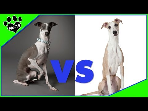 Italian Greyhound vs Whippet Which is Better? Dog vs Dog