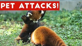 Funniest Animal Attacks Compilation April 2017   Funny Pet Videos