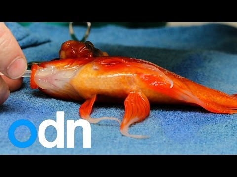 A pet goldfish is recovering from life-saving surgery
