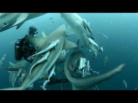 Requins sur Protea Banks - Afrique du Sud