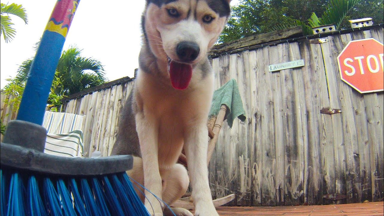 Its Impossible To Broom With A Husky Around! (Funny)