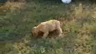 Cocker Spaniel Puppy Jesse Playing Soccer