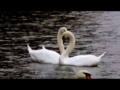 Mute swan courtship dance