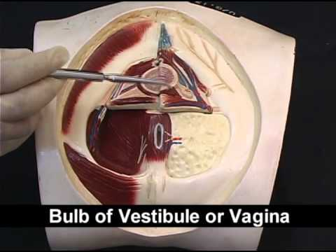Pelvis Perineum 2 Or 3 Male And Female Perineum Youtube