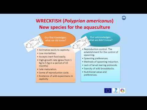 DIVERSIFY: The Wreckfish (Polyprion Americanus)