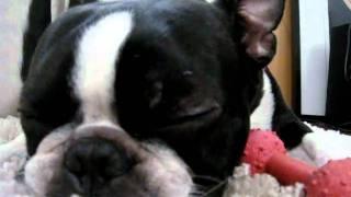"My Boston terrier ""Genie"" finally got tired of chewing. Hear him br..."