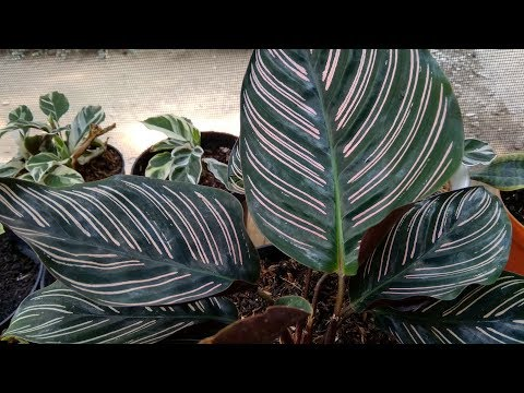 My Calathea Collection 2018 #Part 1