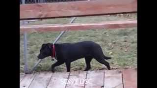 Emma Lou- Labrador Retriever/ Terrier Mix With Rover Rescue