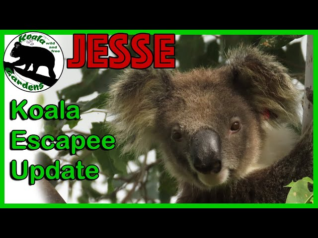 The worlds greatest 🐨koala🐨 escape artist JESSE - what is he up to now?