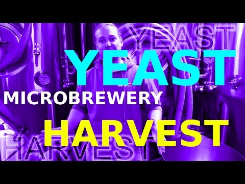YEAST HARVEST!! How To: Microbrewery!
