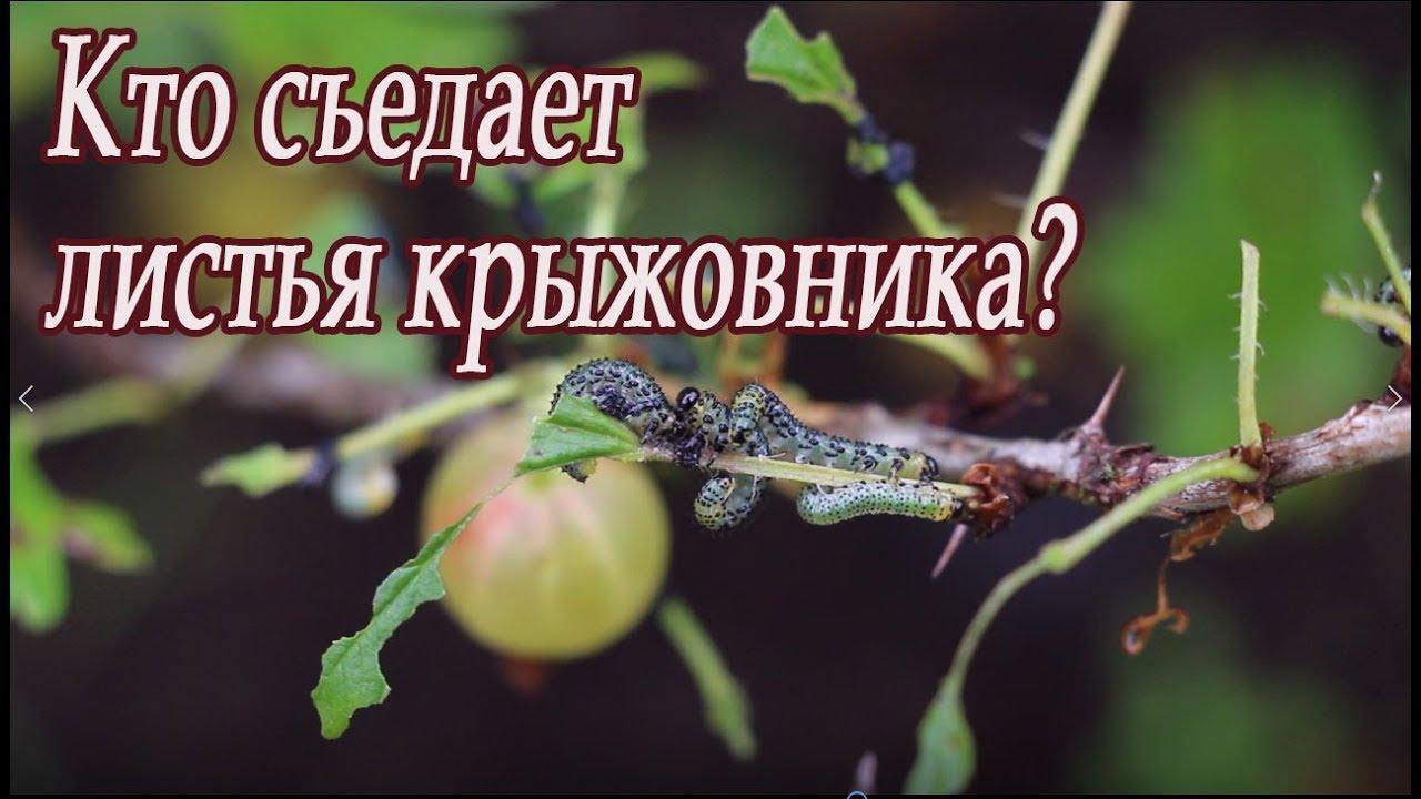 Кто съедает листья крыжовника?