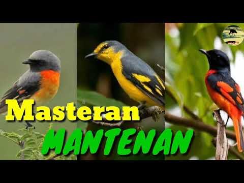 Suara Burung Mantenan Gacor Cocok Untuk Suara Pikat Dan Bisa Jadi Masteran Youtube