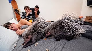 PORCUPINE WAKE UP PRANK ON BROTHER!