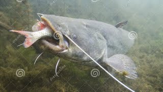Скачать Big Catfish VS Carp In Tank In Slow Motion By Catfishing World