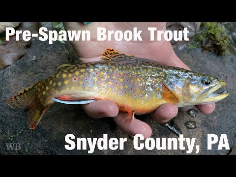 WB - Pre-Spawn Brook Trout, Snyder County, PA - September '18