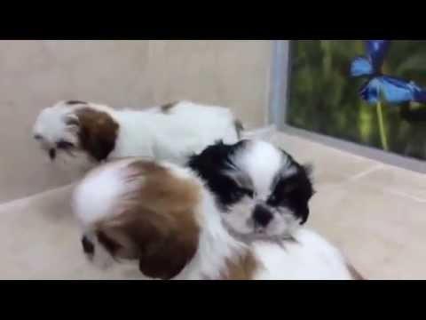 מדהים גורי שיצו |מולי חיות מחמד - YouTube JJ-34