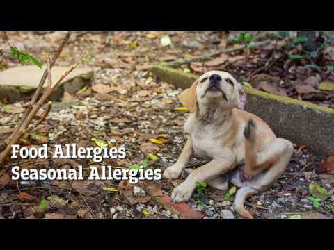 Dog Skin Allergies and Other Skin Issues