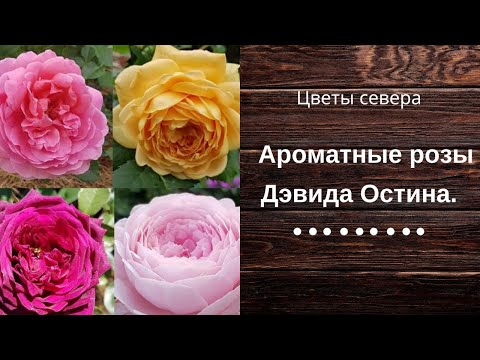 Ароматные розы Дэвида Остина