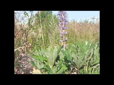Аконит джунгарский (растение) – применение и лечение